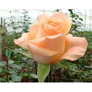 Роза День королевы(Queens day)Роза День королевы представлен на сайте доставки цветов grand-flora.ru в ознакомительных целях. Если вы хотите заказать букет цветов из роз День королевы просим уточнить наличие данного цветка у консультанта по тел.:<br> +7 (98...<br>