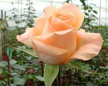 GF-rose91