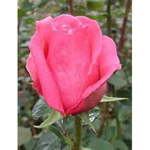 роза-ravel