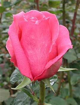 GF-rose93