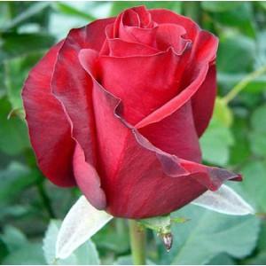 Роза Red oneРоза Red one представлен на сайте доставки цветов grand-flora.ru в ознакомительных целях. Если вы хотите заказать букет цветов из роз Red one просим уточнить наличие данного цветка  у консультанта по тел.:<br> +7 (988) 744-46-4...<br>