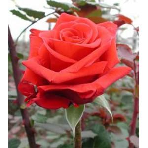 Роза Красный Берлин(Red Berlin)Роза Красный Берлин представлен на сайте доставки цветов grand-flora.ru в ознакомительных целях. Если вы хотите заказать букет цветов из роз Красный Берлин просим уточнить наличие данного цветка  у консультанта по тел.:<br> +7 ...<br>