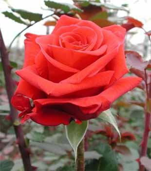 GF-rose95