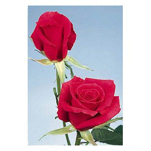 Роза Красная Франция(Red France)Роза Красная Франция представлен на сайте доставки цветов grand-flora.ru в ознакомительных целях. Если вы хотите заказать букет цветов из роз Красная Франция просим уточнить наличие данного цветка  у консультанта по тел.:<br> +...<br>