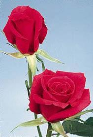 GF-rose96