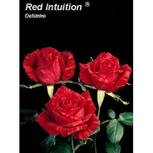 Роза Красная интуиция(Red intuition)Роза Красная интуиция представлен на сайте доставки цветов grand-flora.ru в ознакомительных целях. Если вы хотите заказать букет цветов из роз Красная интуиция просим уточнить наличие данного цветка  у консультанта по тел.:<br>...<br>
