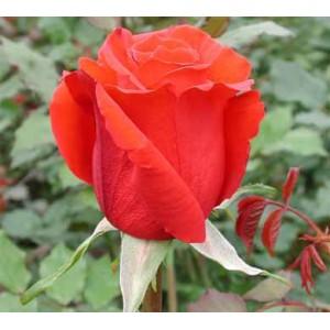 Роза Red uniqueРоза Red unique представлен на сайте доставки цветов grand-flora.ru в ознакомительных целях. Если вы хотите заказать букет цветов из роз Red unique просим уточнить наличие данного цветка  у консультанта по тел.:<br> +7 (988) 74...<br>