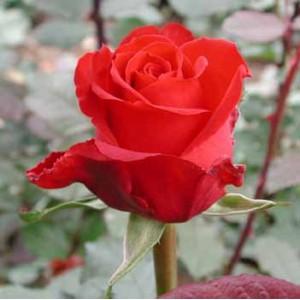 Роза RolexРоза Rolex представлен на сайте доставки цветов grand-flora.ru в ознакомительных целях. Если вы хотите заказать букет цветов из роз Rolex просим уточнить наличие данного цветка  у консультанта по тел.:<br> +7 (988) 744-46-44 ил...<br>