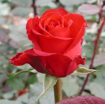 GF-rose100