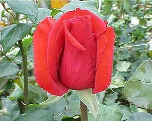 GF-rose102