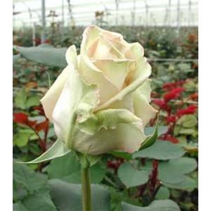 Роза Сахара(Sahara)Роза Сахара представлен на сайте доставки цветов grand-flora.ru в ознакомительных целях. Если вы хотите заказать букет цветов из роз Сахара просим уточнить наличие данного цветка  у консультанта по тел.:<br> +7 (988) 744-46-44 ...<br>