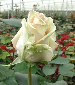 GF-rose103