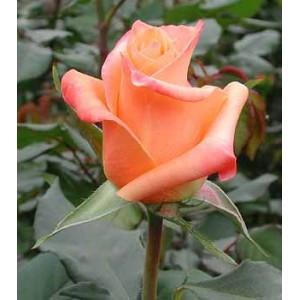 Роза Сари(Sari)Роза Сари представлен на сайте доставки цветов grand-flora.ru в ознакомительных целях. Если вы хотите заказать букет цветов из роз Сари просим уточнить наличие данного цветка  у консультанта по тел.:<br> +7 (988) 744-46-44 или ...<br>