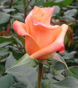 GF-rose104
