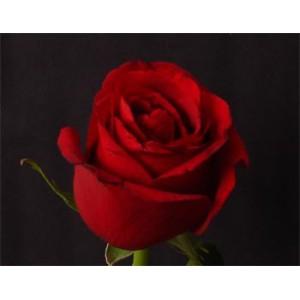 Роза Sexy redРоза Sexy red представлен на сайте доставки цветов grand-flora.ru в ознакомительных целях. Если вы хотите заказать букет цветов из роз Sexy red просим уточнить наличие данного цветка  у консультанта по тел.:<br> +7 (988) 744-46...<br>