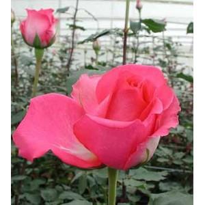 Роза ShockingРоза Shocking представлен на сайте доставки цветов grand-flora.ru в ознакомительных целях. Если вы хотите заказать букет цветов из роз Shocking просим уточнить наличие данного цветка  у консультанта по тел.:<br> +7 (988) 744-46...<br>