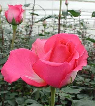 GF-rose106