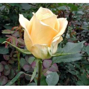 """Букет из цветов Роза """"Небесная линия""""(Skyline)"""