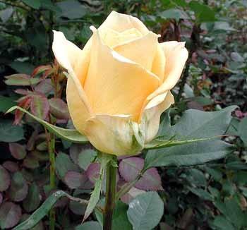 GF-rose107