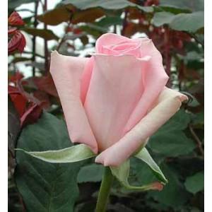 Роза SofieРоза Sofie представлен на сайте доставки цветов grand-flora.ru в ознакомительных целях. Если вы хотите заказать букет цветов из роз Sofie просим уточнить наличие данного цветка  у консультанта по тел.:<br> +7 (988) 744-46-44 ил...<br>