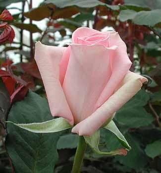 GF-rose108