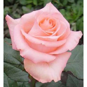 Роза SolaireРоза Solaire представлен на сайте доставки цветов grand-flora.ru в ознакомительных целях. Если вы хотите заказать букет цветов из роз Solaire просим уточнить наличие данного цветка  у консультанта по тел.:<br> +7 (988) 744-46-4...<br>