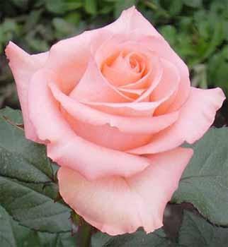 GF-rose109