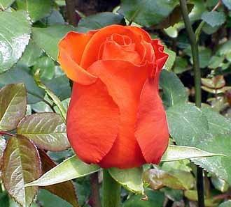 GF-rose111