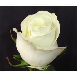 Роза Star polarРоза Star polar представлен на сайте доставки цветов grand-flora.ru в ознакомительных целях. Если вы хотите заказать букет цветов из роз Star polar просим уточнить наличие данного цветка  у консультанта по тел.:<br> +7 (988) 74...<br>