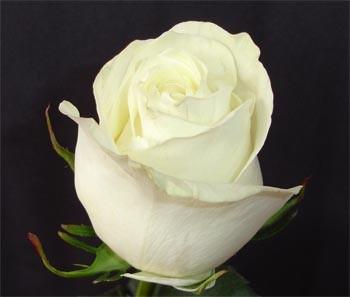 Цветы Гранд Флора GF-rose112 стилус polar pp001