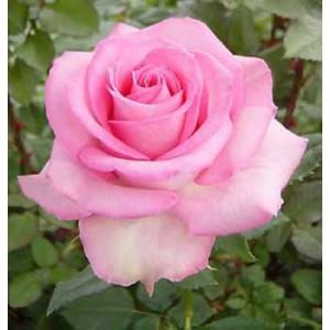 Роза Sweet uniqueРоза Sweet unique представлен на сайте доставки цветов grand-flora.ru в ознакомительных целях. Если вы хотите заказать букет цветов из роз Sweet unique просим уточнить наличие данного цветка  у консультанта по тел.:<br> +7 (988...<br>