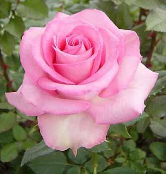 GF-rose113