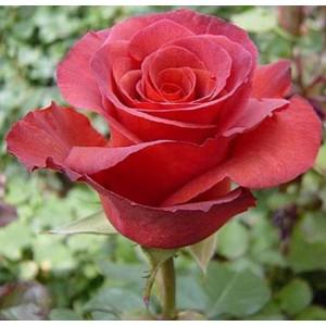 Роза TerracottaРоза Terracotta представлен на сайте доставки цветов grand-flora.ru в ознакомительных целях. Если вы хотите заказать букет цветов из роз Terracotta просим уточнить наличие данного цветка  у консультанта по тел.:<br> +7 (988) 74...<br>