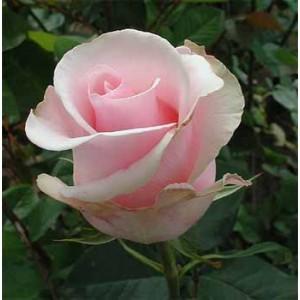 Роза TitanicРоза Titanic представлен на сайте доставки цветов grand-flora.ru в ознакомительных целях. Если вы хотите заказать букет цветов из роз Titanic просим уточнить наличие данного цветка  у консультанта по тел.:<br> +7 (988) 744-46-4...<br>