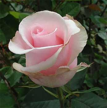 GF-rose115