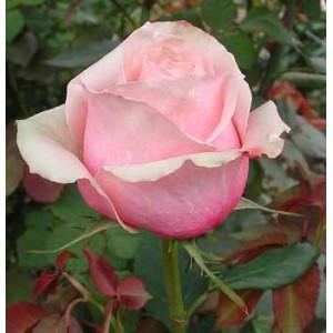 Роза ToscaniniРоза Toscanini представлен на сайте доставки цветов grand-flora.ru в ознакомительных целях. Если вы хотите заказать букет цветов из роз Toscanini просим уточнить наличие данного цветка у консультанта по тел.:<br> +7 (988) 744-4...<br>