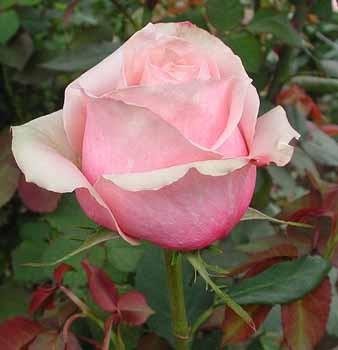 GF-rose116