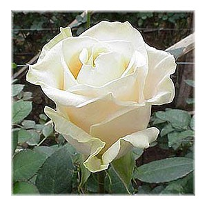 Роза VendelaРоза Vendela представлен на сайте доставки цветов grand-flora.ru в ознакомительных целях. Если вы хотите заказать букет цветов из роз Vendela просим уточнить наличие данного цветка  у консультанта по тел.:<br> +7 (988) 744-46-4...<br>