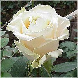 GF-rose118