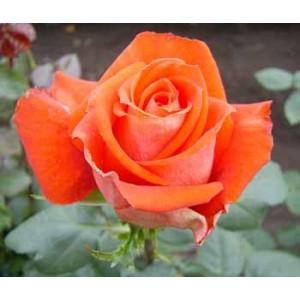 Роза VeranoРоза Verano представлен на сайте доставки цветов grand-flora.ru в ознакомительных целях. Если вы хотите заказать букет цветов из роз Verano просим уточнить наличие данного цветка  у консультанта по тел.:<br> +7 (988) 744-46-44 ...<br>