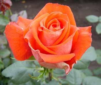 GF-rose119