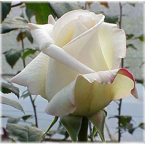 Роз Вирджиния(Virginia)Роза Вирджиния представлен на сайте доставки цветов grand-flora.ru в ознакомительных целях. Если вы хотите заказать букет цветов из роз Вирджиния просим уточнить наличие данного цветка у консультанта по тел.:<br> +7 (988) 744-4...<br>