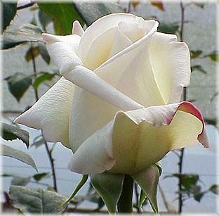 GF-rose120