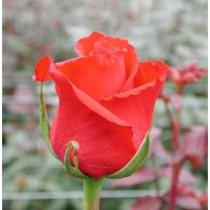 Роза VitaРоза Vita представлен на сайте доставки цветов grand-flora.ru в ознакомительных целях. Если вы хотите заказать букет цветов из роз Vita просим уточнить наличие данного цветка  у консультанта по тел.:<br> +7 (988) 744-46-44 или ...<br>