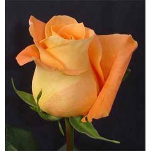 """Роза """"Voo Doo"""" от Grand-Flora.ru"""