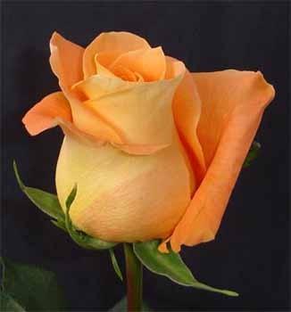 GF-rose123