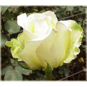 Роза Yellow uniqueРоза Yellow unique представлен на сайте доставки цветов grand-flora.ru в ознакомительных целях. Если вы хотите заказать букет цветов из роз Yellow unique просим уточнить наличие данного цветка  у консультанта по тел.:<br> +7 (9...<br>