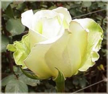 GF-rose124