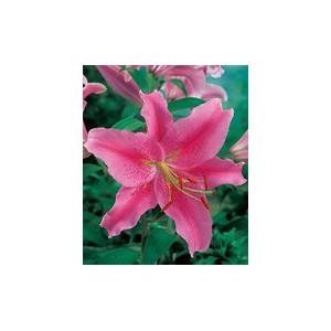 AcapulcoЛилия Acapulco представлен на сайте доставки цветов grand-flora.ru в ознакомительных целях. Если вы хотите заказать букет цветов из лилий Acapulco просим уточнить наличие данного цветка  у консультанта по тел.:<br> +7 (988) 744...<br>