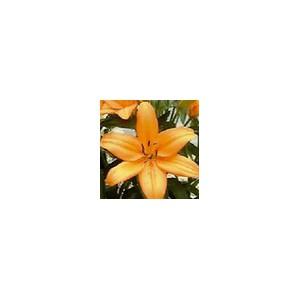 AdvantageЛилия Advantage представлен на сайте доставки цветов grand-flora.ru в ознакомительных целях. Если вы хотите заказать букет цветов из лилий Advantage просим уточнить наличие данного цветка  у консультанта по тел.:<br> +7 (988) 7...<br>